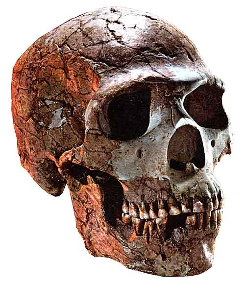 neanderthal_skull_big