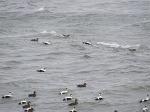 Eider ducks riding the waves