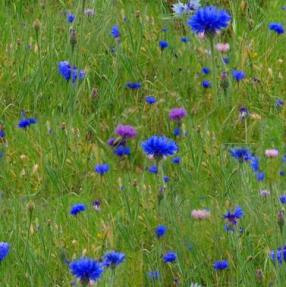 meadow-grass-blue-flowers