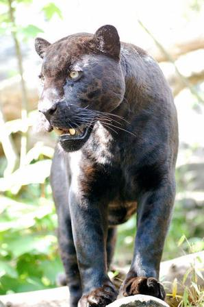 jaguar_black_panther_cat