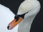 Swan shrugging off the snow, Loch Goil