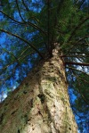 giant redwood, benmore gardens