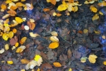 beech leaves, floating