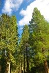 trees, benmore