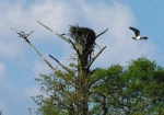 osprey takes flight from nest