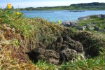 oyster catcher nest