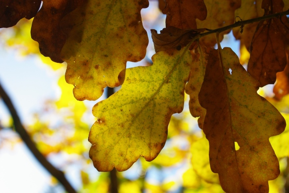 oak leaves, autumn