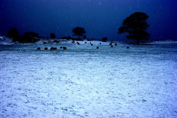 sheep, snow, high contrast
