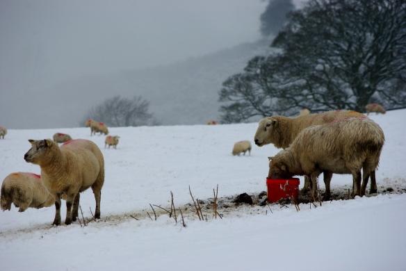 sheep, snow, hills