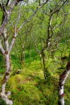 Ancient birch forest