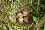Woodcock nest